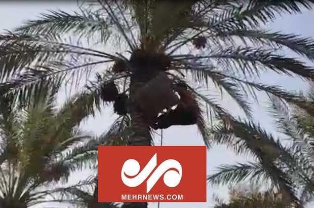 VIDEO: Harvesting dates in Dashtestan county