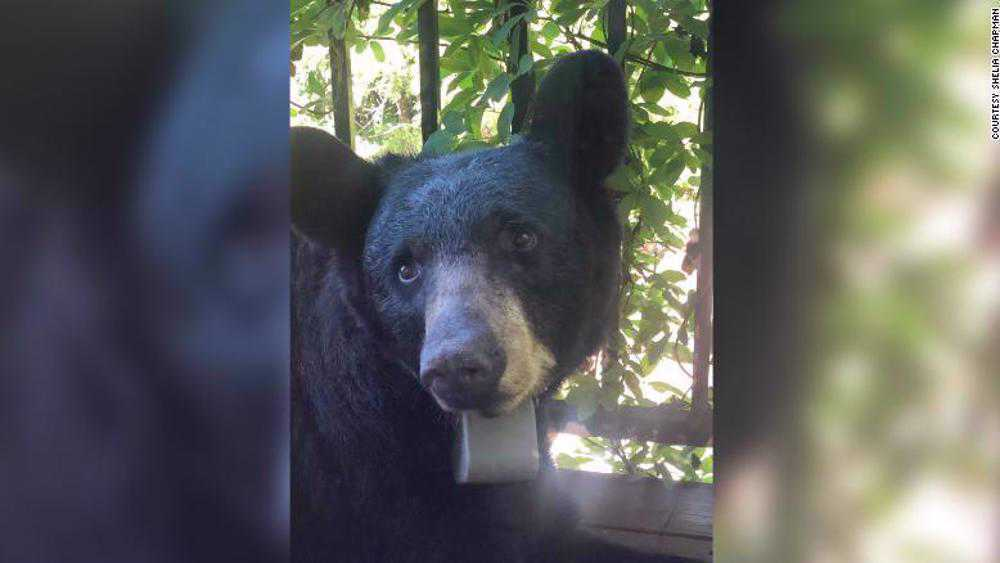 Bear found tagged with 'Trump 2020' sticker on collar
