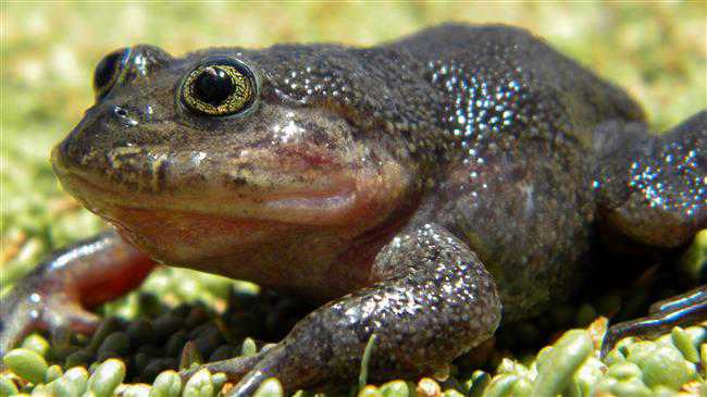 Chilean scientists rediscover 'ghost' frog in far-flung desert hot spring