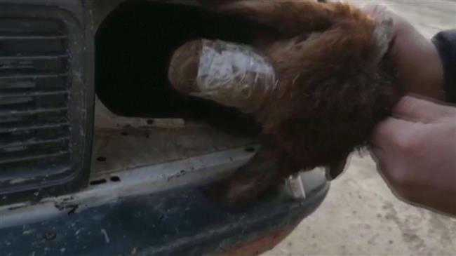 Smugglers hide sheep in unusual place: car headlights