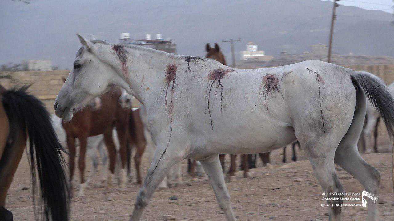 Watch video | Saudi criminal regime kills the purebred Arabian horses in Sana'a - Yemen Press